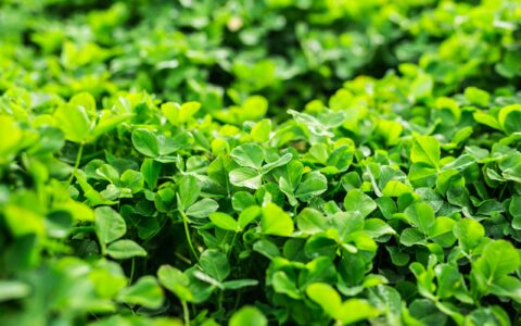 Irish shamrock - Satura_